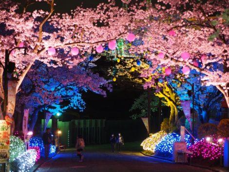 よみうりランド桜ライトアップ