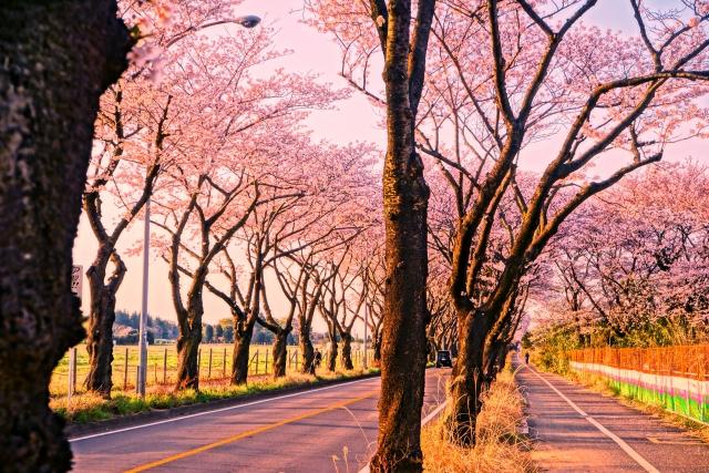 横浜 海軍道路の桜