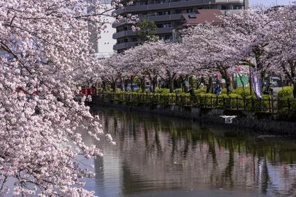 小田原城址公園の満開の桜