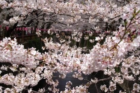 中目黒(目黒川沿い)の桜の画像