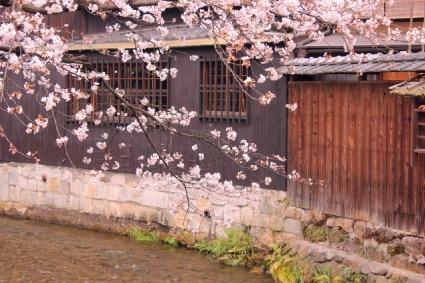 祇園白川の桜の画像