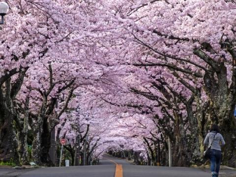 伊豆高原桜並木の画像