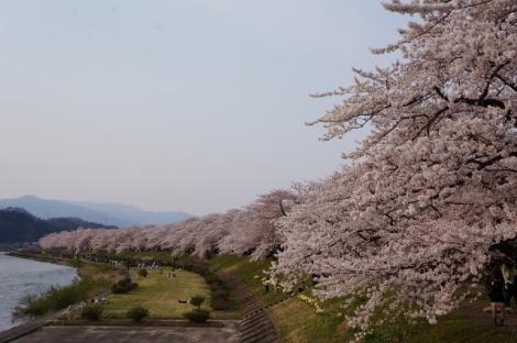 角館の桜 桧内川堤のソメイヨシノ