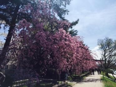 京都 賀茂川の桜 半木の道