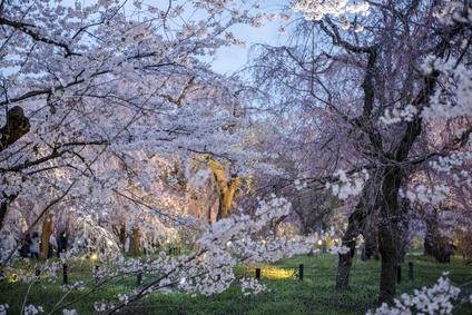 京都府立植物園の桜の画像