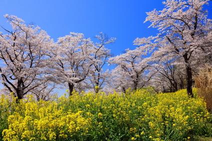 国営武蔵丘陵森林公園の桜の画像