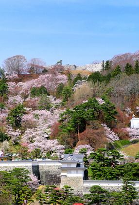 霞ヶ城公園の桜の画像