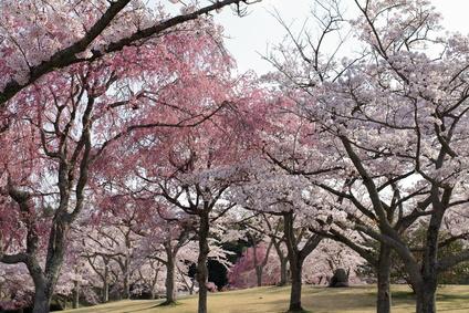 大室山さくらの里の桜