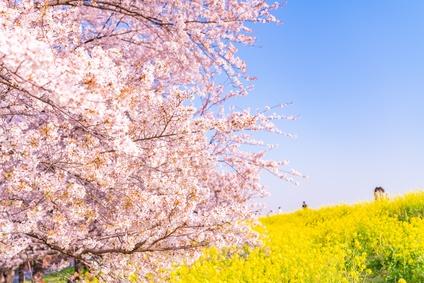 熊谷桜堤の桜の画像
