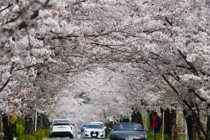 長瀞の桜の画像