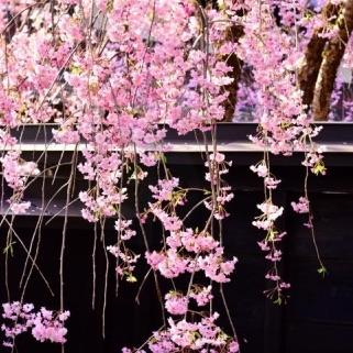 角館 武家屋敷の桜の画像