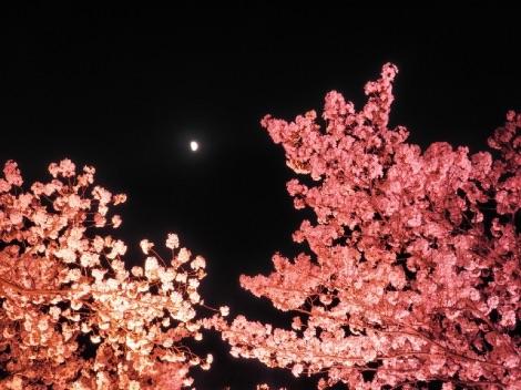 高田城公園の夜桜