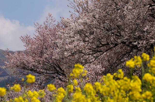 一心行の大桜の画像
