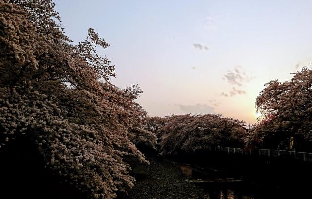入間市霞川の桜の画像